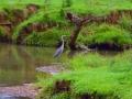 Blue Heron B 003