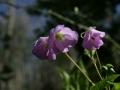 Wild Flowers foCliffty 034